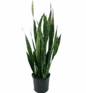 Растение Сансивьера