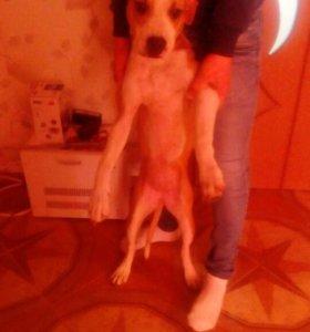 Собака (питбуль)