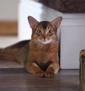 Вязка. Абиссинский кот