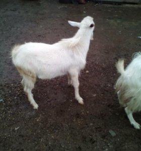 Продаю козу