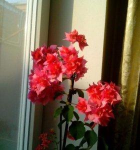 Бугенвиллия розовая махровая