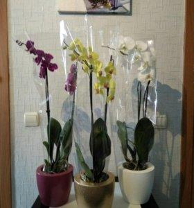 Цветы Орхидея Фаленопсис с доставкой на дом.