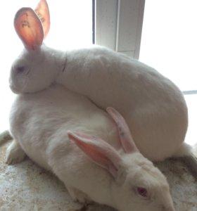 Взрослые кролики Белый великан
