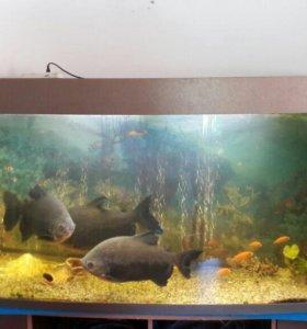 Продам рыб Паку