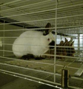Калифорния кролики