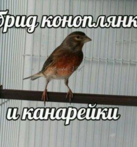 Гибрид коноплянка и канарейка. Певчая птица.