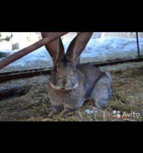 кролики породы немецкий ризен
