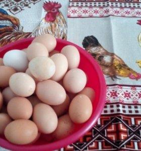 Яйцо курицы домашнее