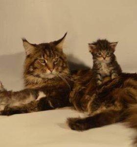 Котик Мейн-кун на вязку