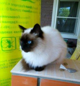 """Вязка! Тайский кот """"Бася"""" в мае 2 года."""