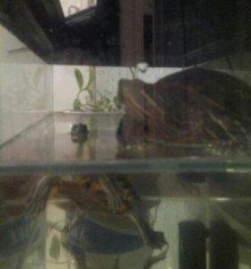 Продаются черепахи красноухии.