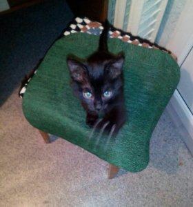 Котенок девочка 2,5 месяца