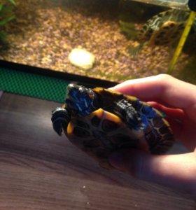 Срочно продаю аквариум с двумя красноухими черепах
