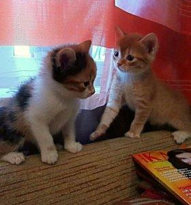Красивые котята от умной и чистоплотной кошки