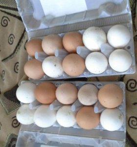 Свежее куринное яйцо