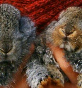 Кролики породы ( Резин)