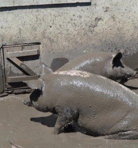 Свиньи живым весом,возможны варианты