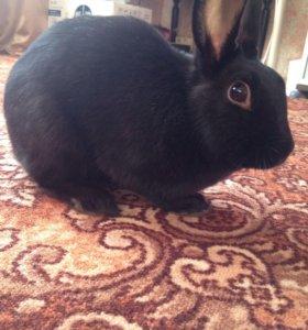 Декоративный кролик( девочка)
