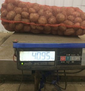 Картофель Элитного голландского сорта Латона