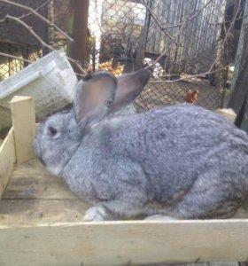 Продам кроликов самцов на племя