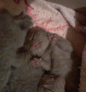 Котятки британские-голубые
