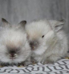 Карликовые кролики, высокопородные.