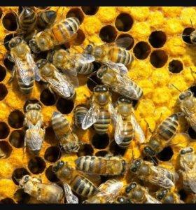 Пчелопаккты