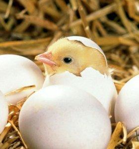 Цыплята домашнии