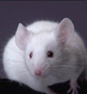 Мышь декоративная белая