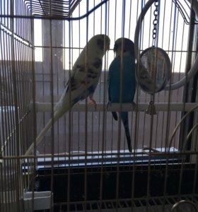 Продам 2-ух попугаев мальчик и девочка,  1,5 года