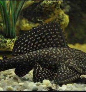 Аквариумные рыбы(сом)