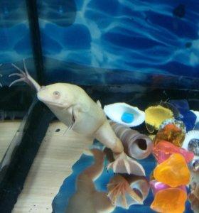 Лягушки шпорцовые