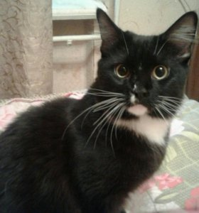 Кошка метис мейн-куна