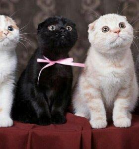 Котики вислоушки