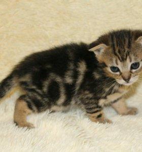 Абиссинские котята метисы