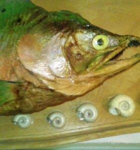 Чучело рыбы кежуч