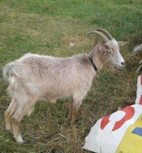Две козы и сено