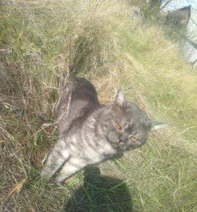 Кот британец для кошки вязка