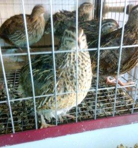 Мясо, яйцо, птенцы домашних перепелов.