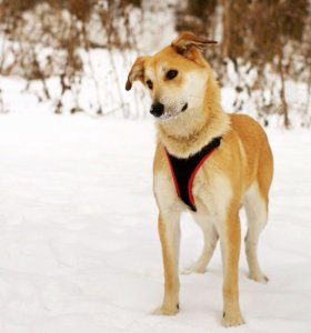 Изящная Собака Айрис даром