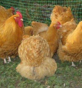 Суточные  цыплята, Порода  орпингтон и брама