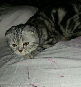 Кот скотишь фолд на вязку