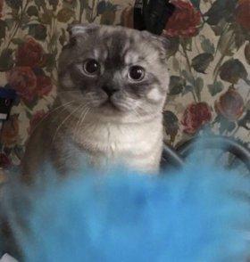 Вислоухий кот ищет девочку для вязки