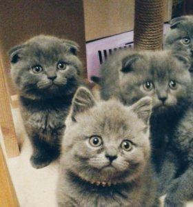 Продаются котята. Порода - шотландская