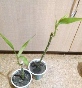 Драцена или бамбук счастья