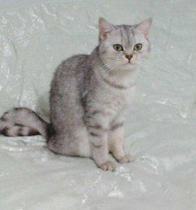 Кошка породы скоттыш страйде