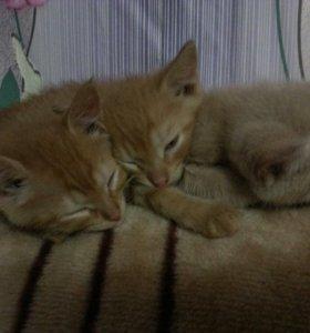 Рыжинькие котята
