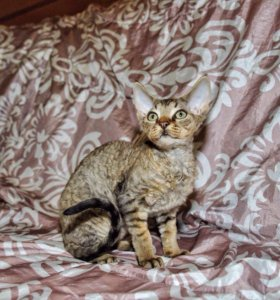 Котик породы Девон рекс