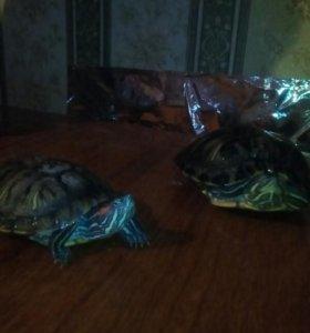 Красноухие черепахимальчик идевочка
