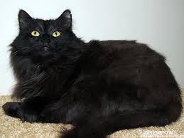 Отдам  кошечку Саманту, 1 год, чисто черная, пу
